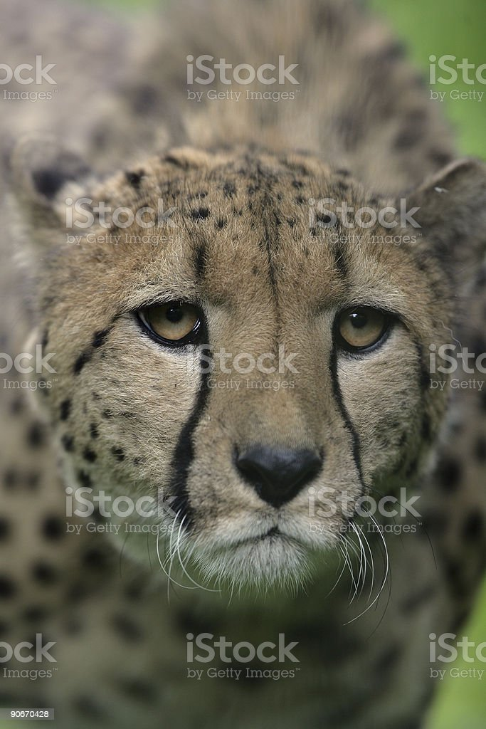 male cheetah royalty-free stock photo