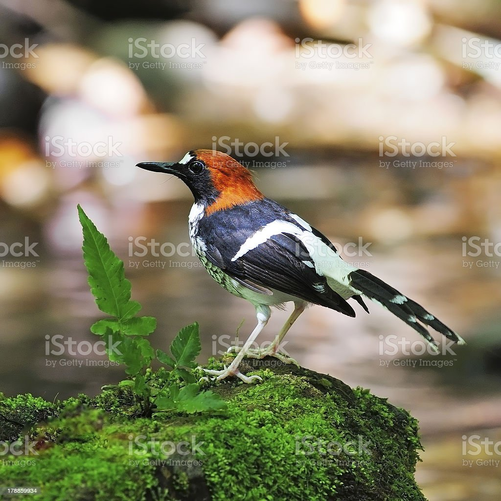 male Chestnut-naped Forktail stock photo