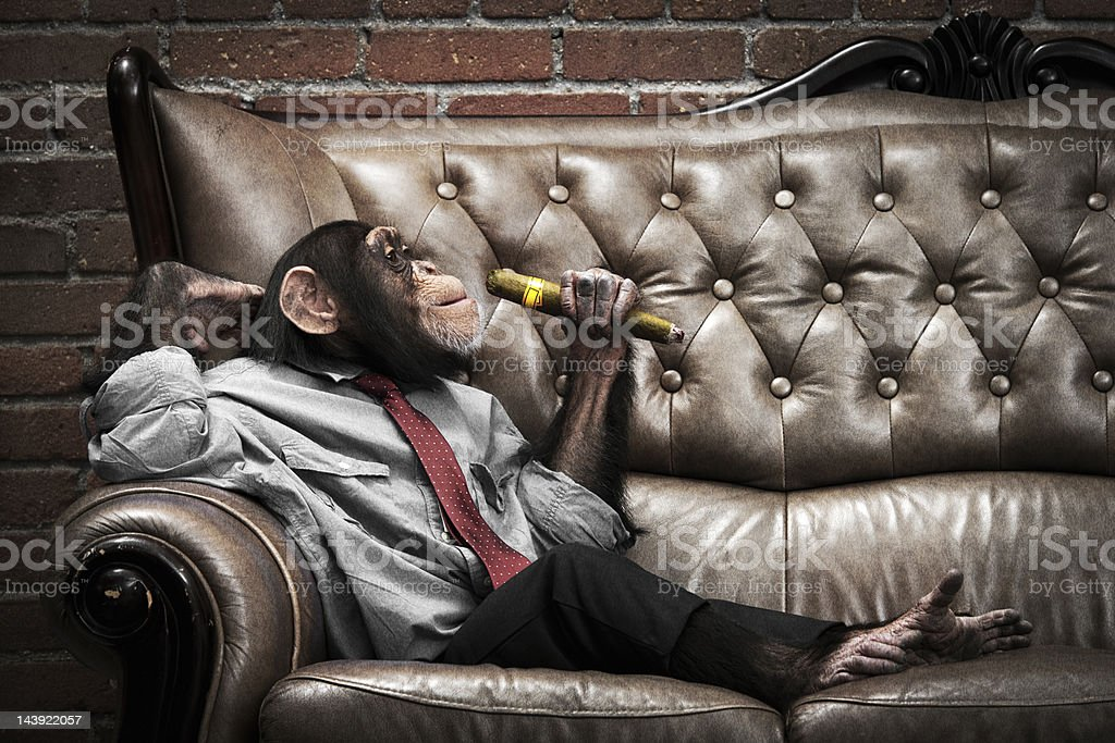 Male Chimpanzee on a couch stock photo