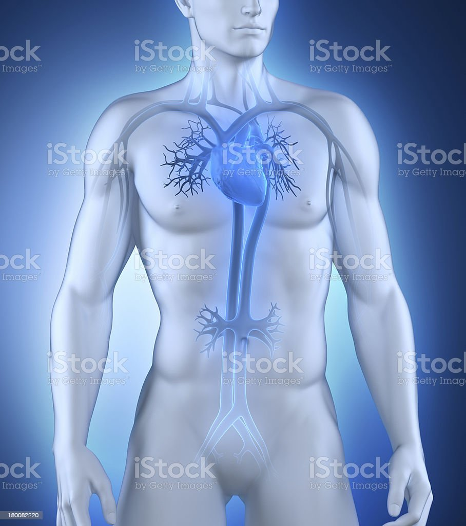 Male circulatory system anterior view royalty-free stock photo