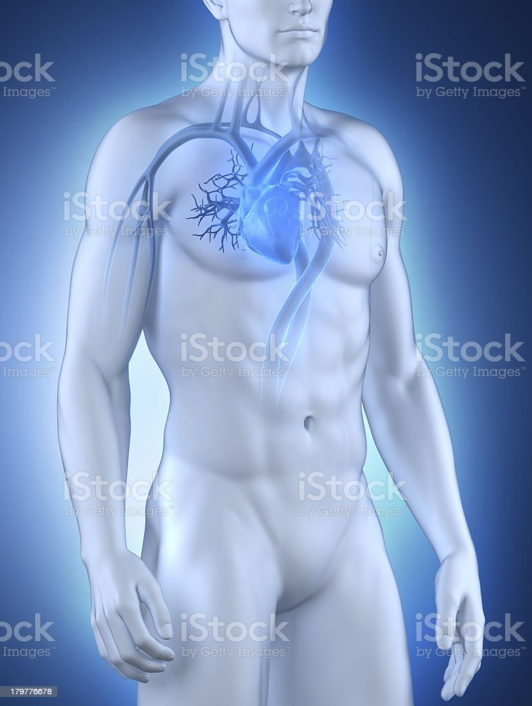 Male circulatory system royalty-free stock photo