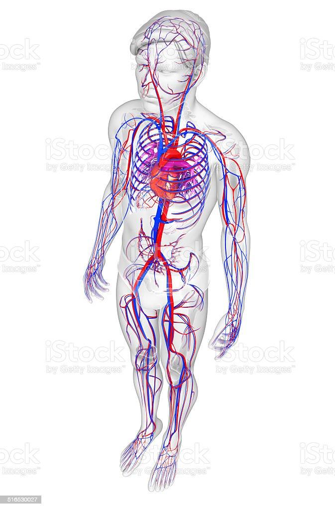 Male circulatory system stock photo