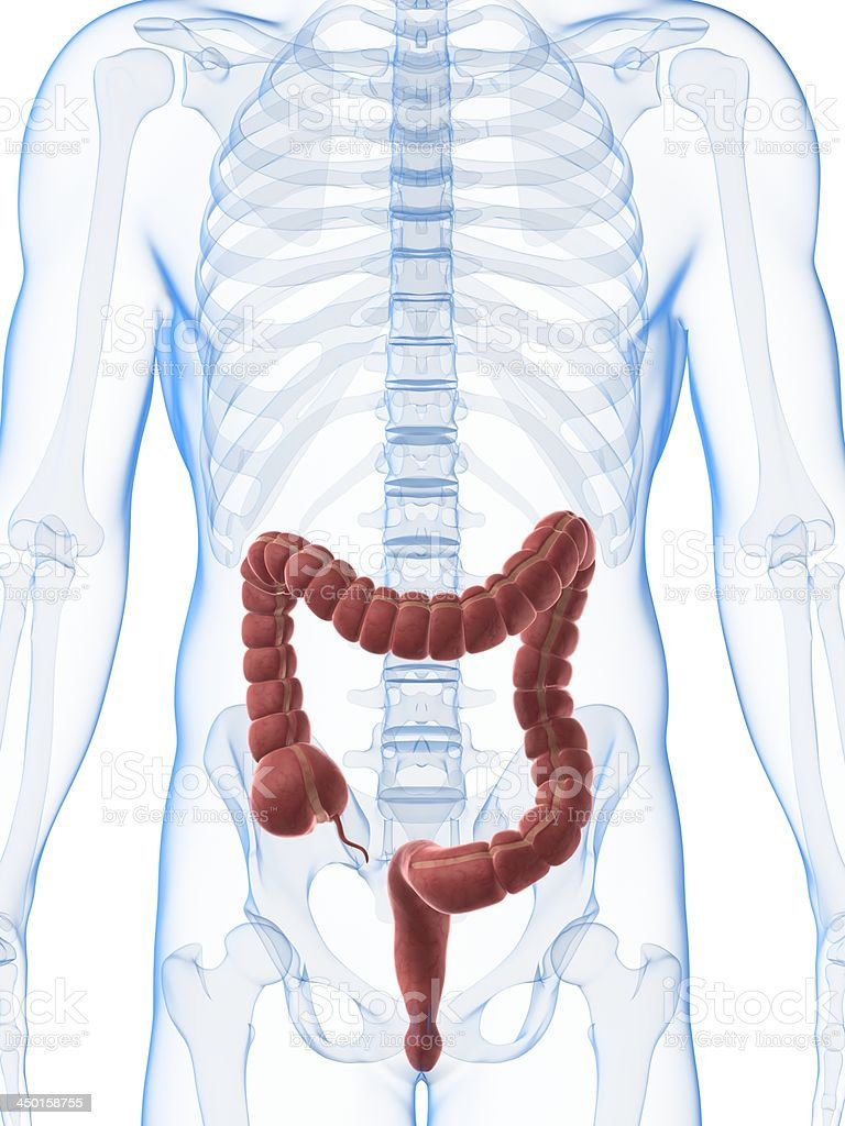 male colon royalty-free stock photo