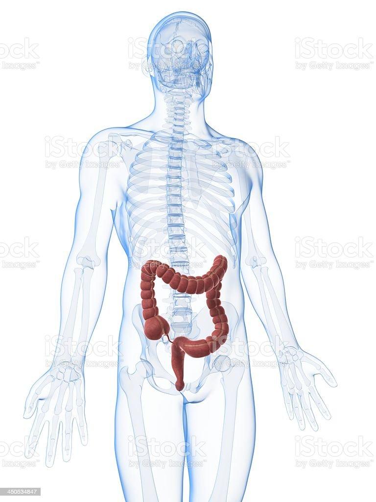 male colon stock photo