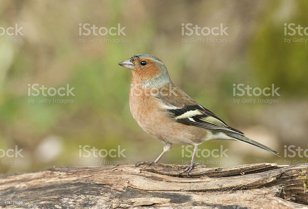 Male Common Chaffinch (Fringilla coelebs) royalty-free stock photo