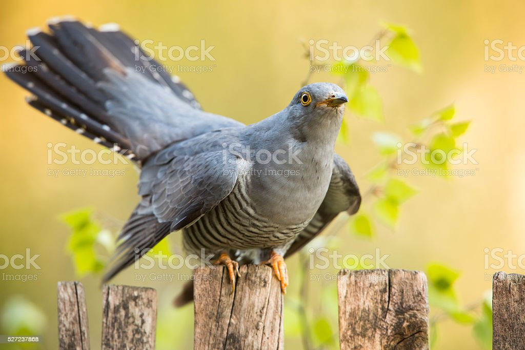 Male Common Cuckoo stock photo