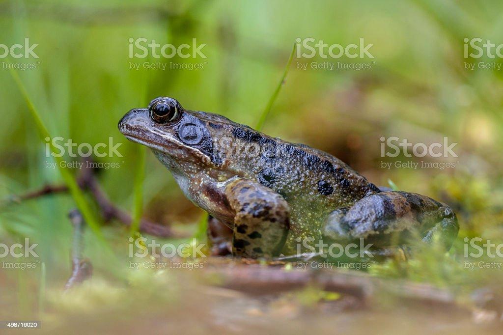 Male Common frog stock photo