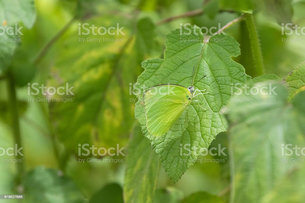 Male Common Lemon Emigrant butterfly in bright green on leaf stock photo