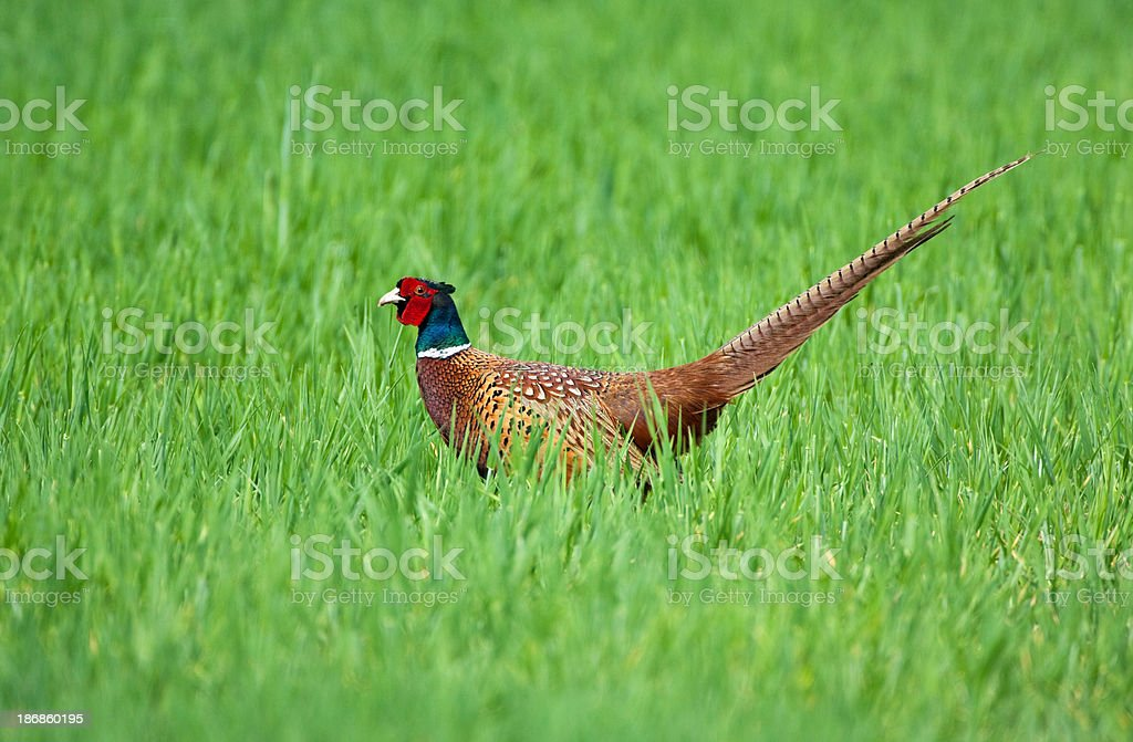 Male Common Pheasant (Phasianus colchicus) royalty-free stock photo
