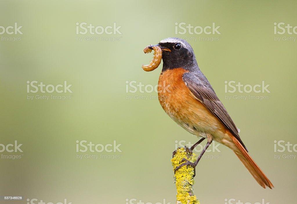 Male common redstart (Phoenicurus phoenicurus) stock photo