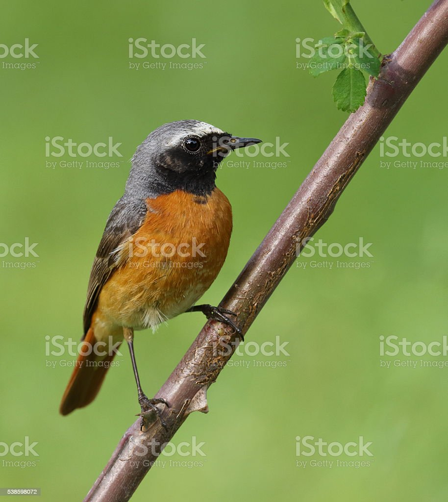 Male common redstart (Phoenicurus phoenicurus) stock photo