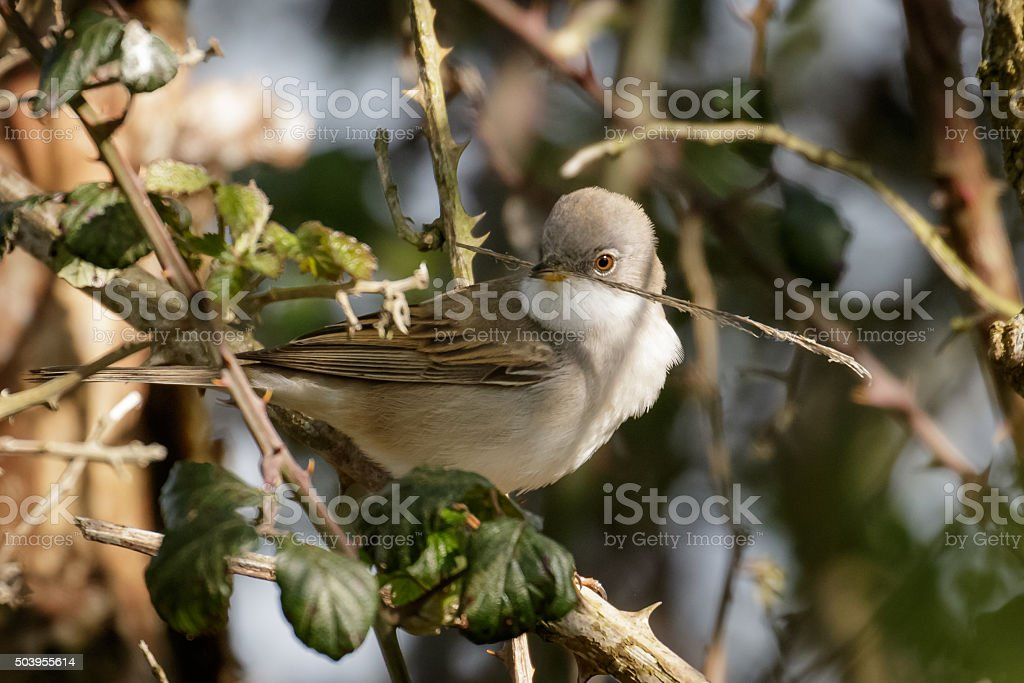 Male Common Whitethroat (Sylvia communis) stock photo