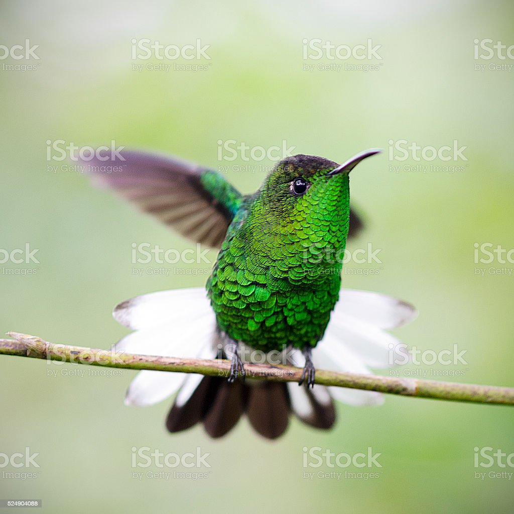 male coppery-headed emerald hummingbird, Elvira cupreiceps stock photo