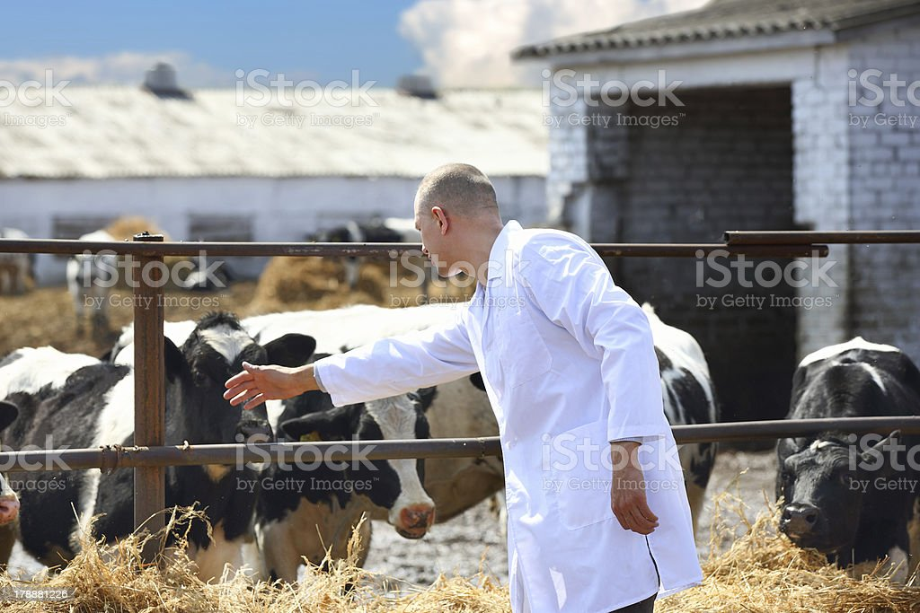 male cow veterinarian royalty-free stock photo