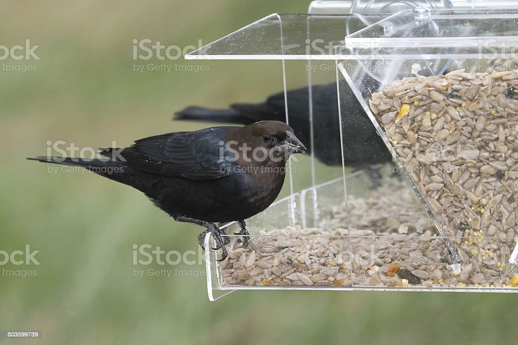 Male Cowbird On A Feeder stock photo