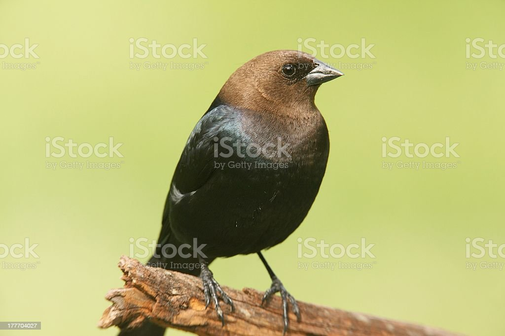 Male Cowbird On A Perch stock photo