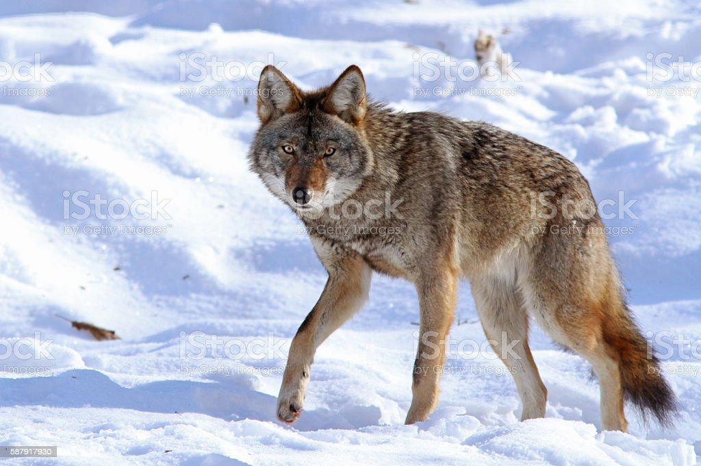 Male Coyote stock photo