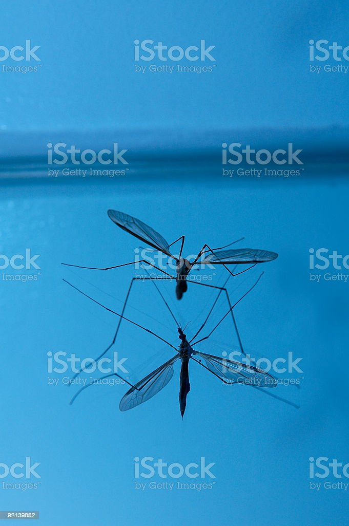 Male Crane Fly royalty-free stock photo
