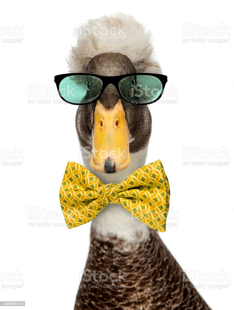 Male Crested Ducks wearing glasses and a bow tie stock photo