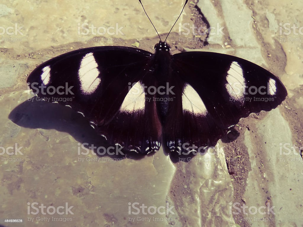 Male Danaid Eggfly Butterfly, Hypolimnas missipus stock photo