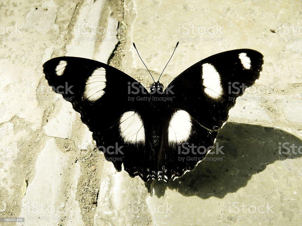 Male Danaid Eggfly Butterfly, (Hypolimnas missipus) Open Wings stock photo