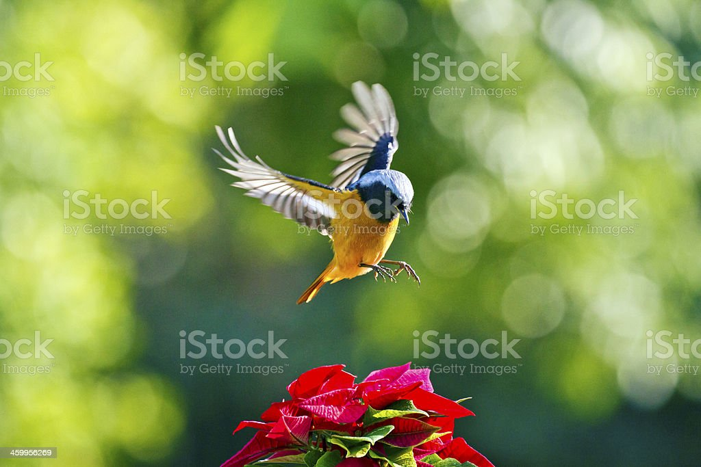 male Daurian Redstart in flight,Phoenicurus auroreus stock photo