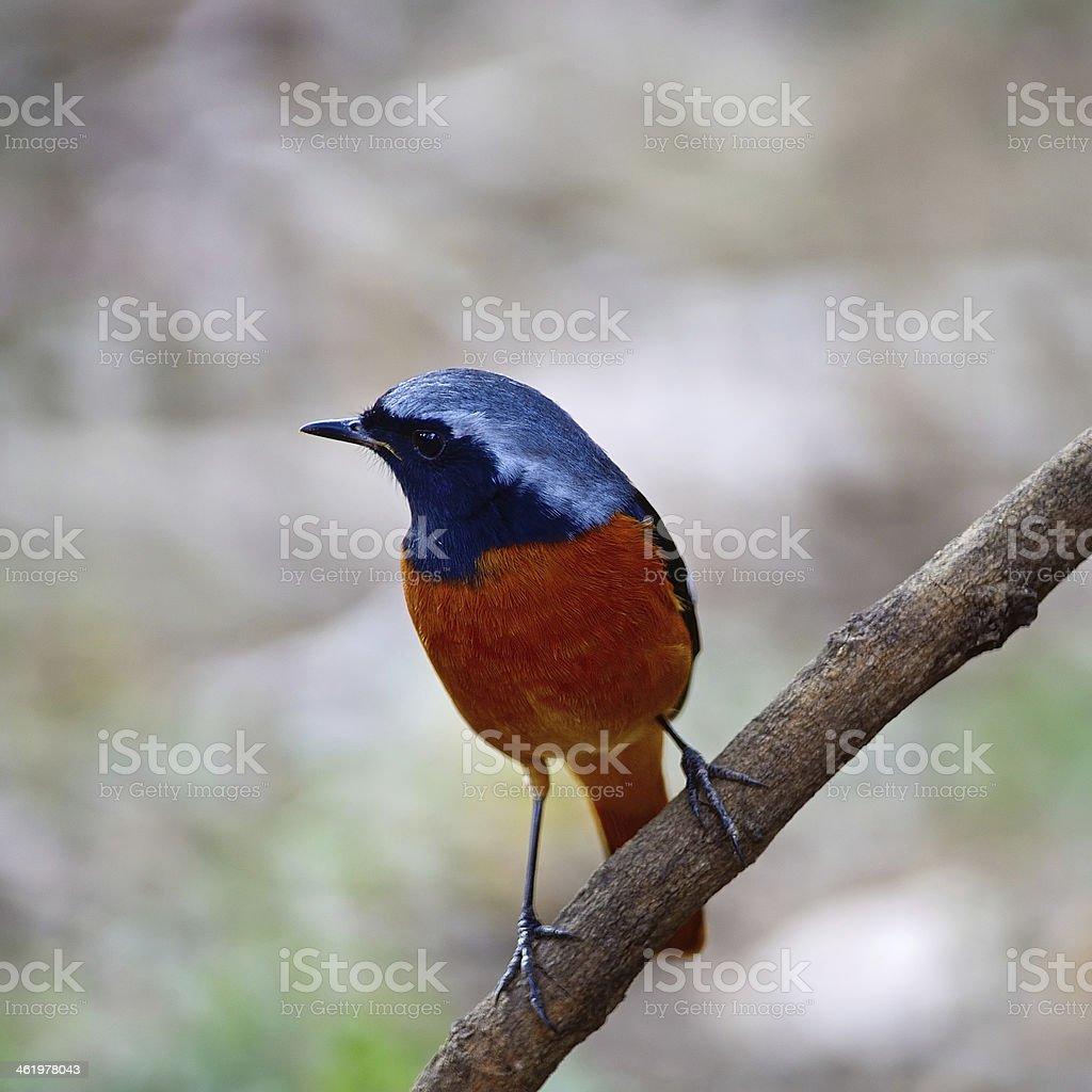 male Daurian Redstart stock photo