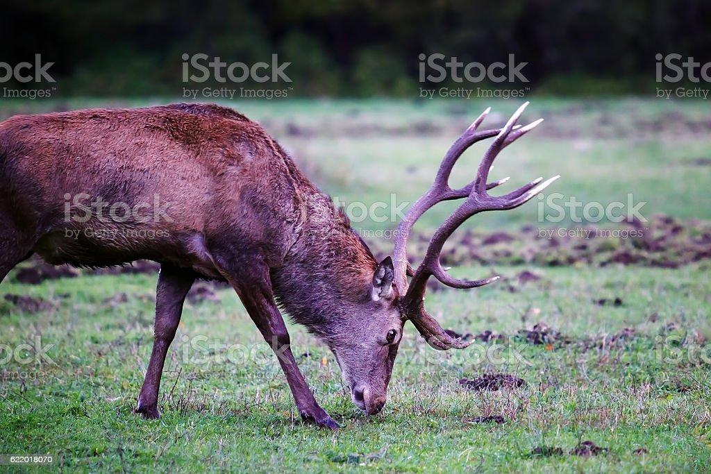 Male deer on the prairie. Male deer grazing stock photo
