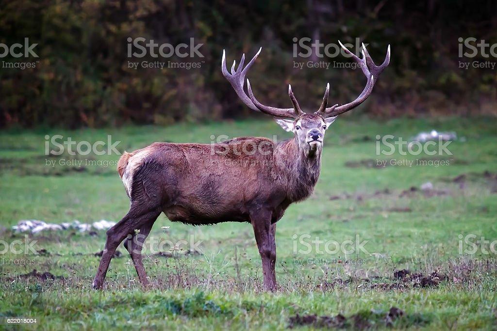 Male deer on the prairie stock photo
