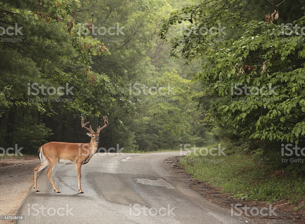 A male deer with antlers crossing the road stock photo