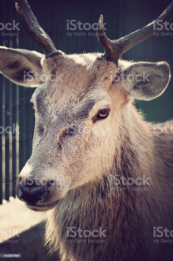 Male deer with antlers stock photo