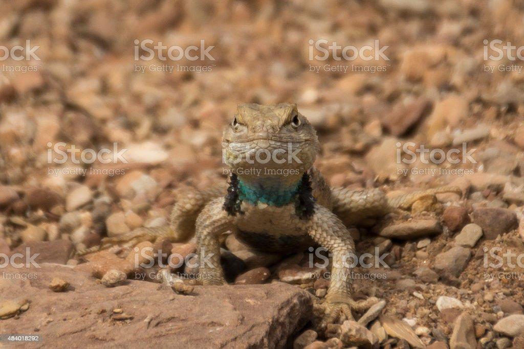 Male Desert Spiny Lizard stock photo