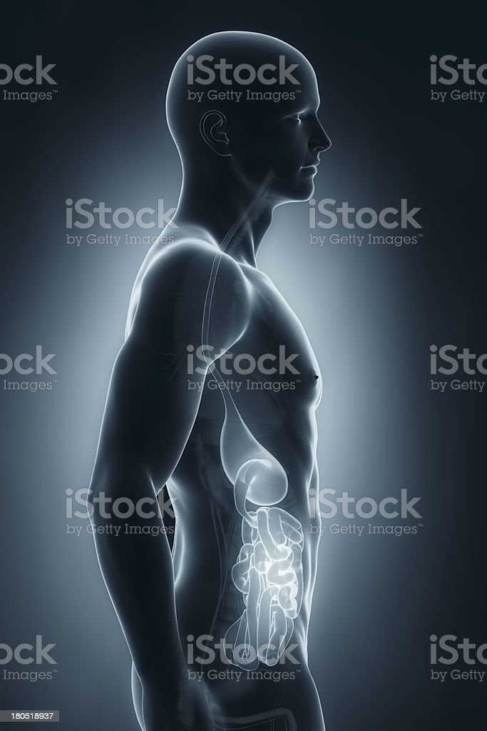 Male digestive system anatomy lateral view stock photo
