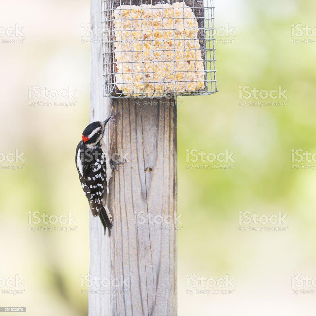Male Downy Woodpecker Eating Suet stock photo