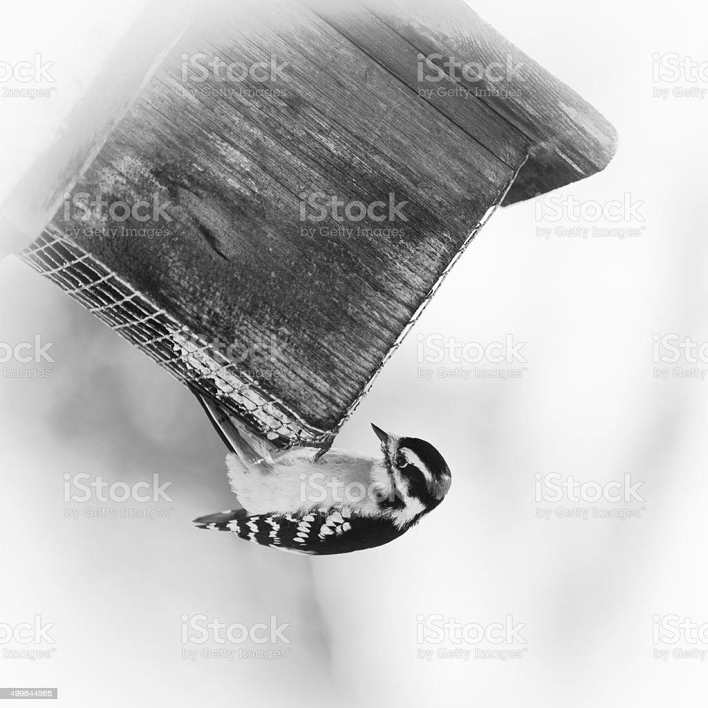 Male Downy Woodpecker on Suet Feeder stock photo