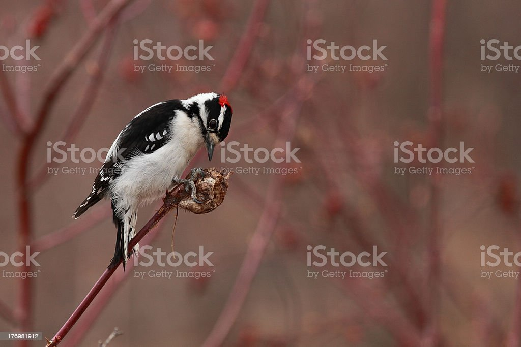 Male Downy Woodpecker perching on a wild rose gall. stock photo