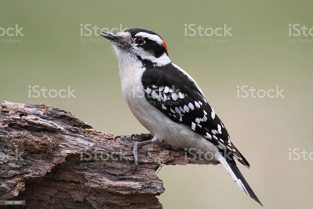 Male Downy Woodpecker (picoides pubescens) stock photo