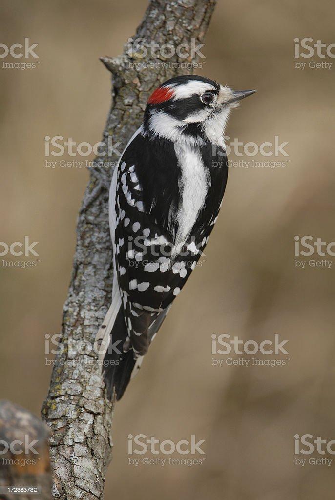 Male Downy Woodpecker stock photo