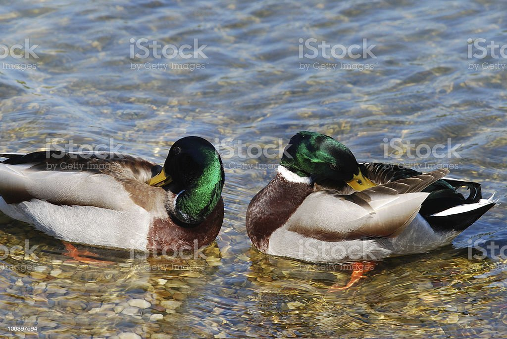 Male duck couple royalty-free stock photo
