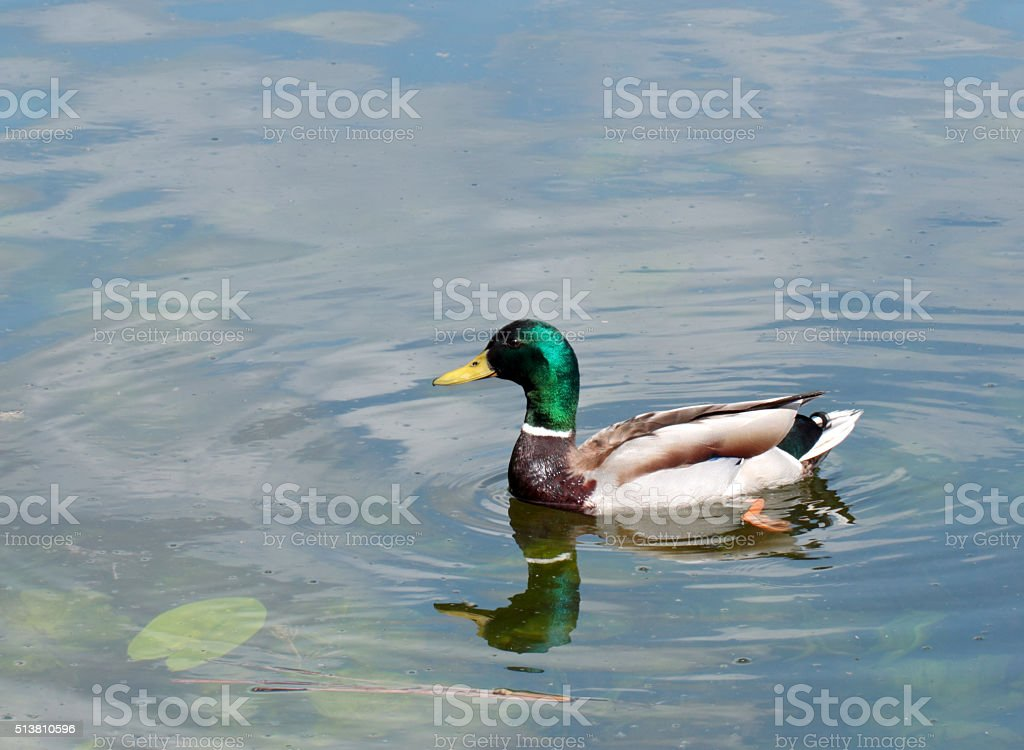 Male duck stock photo
