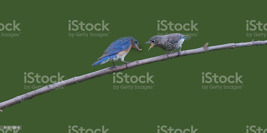 Male Eastern Bluebird Feeding Baby stock photo
