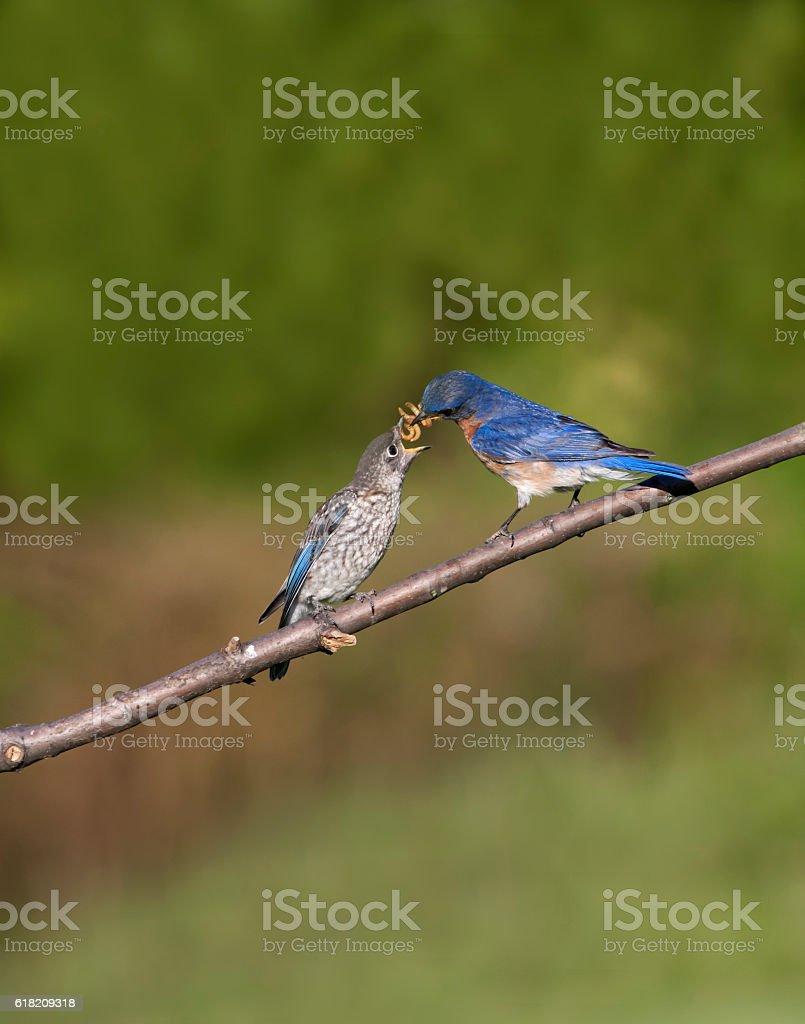 Male Eastern Bluebird Feeding Fledgling stock photo