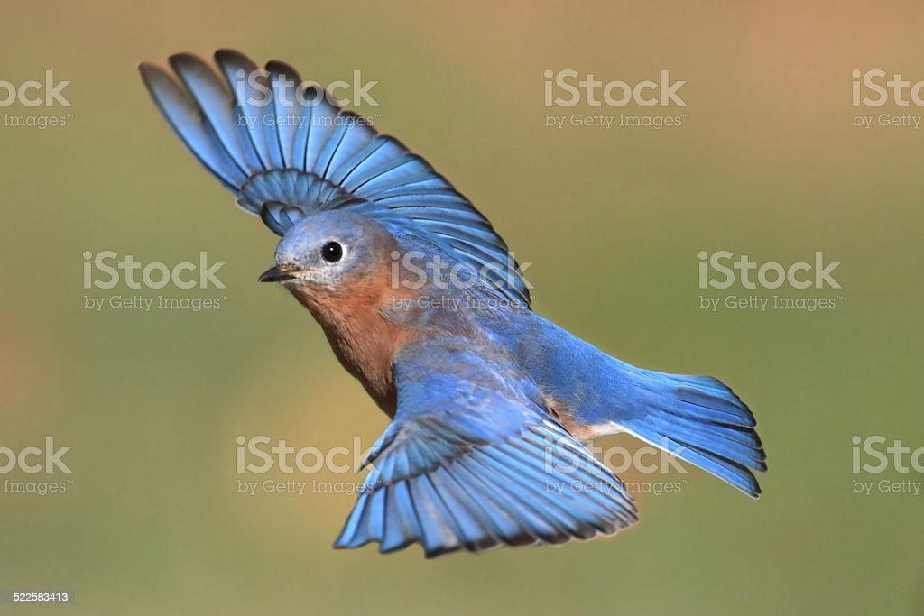 Male Eastern Bluebird in flight stock photo