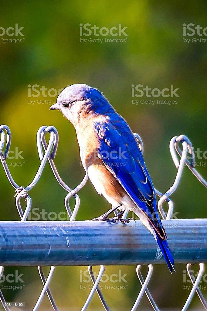 Male Eastern Bluebird (Sialia sialis) on a chainlink fence stock photo