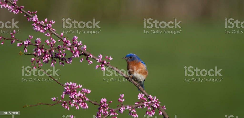 Male Eastern Bluebird on Flowering Branch stock photo