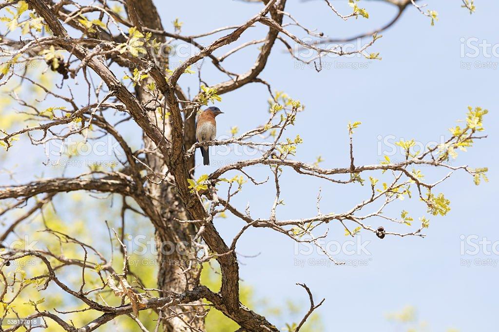Male Eastern Bluebird on Oak Tree stock photo