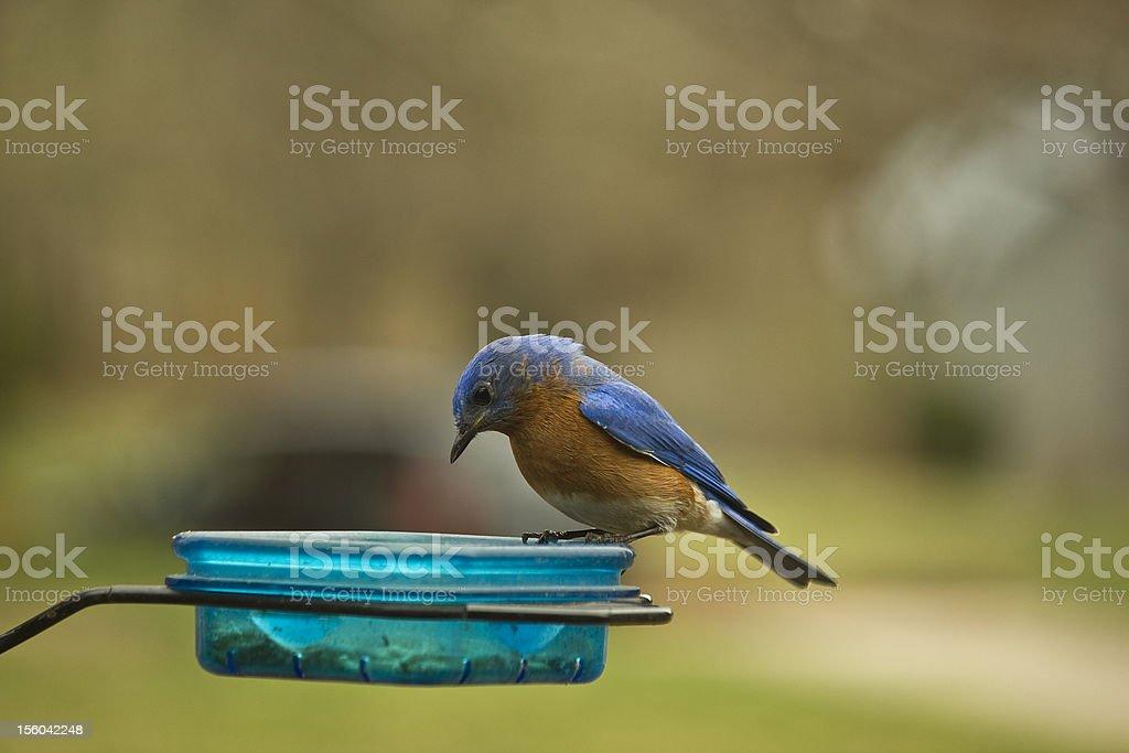 Male Eastern Bluebird stock photo