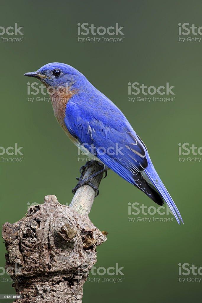 Male Eastern Bluebird (Sialia sialis) stock photo