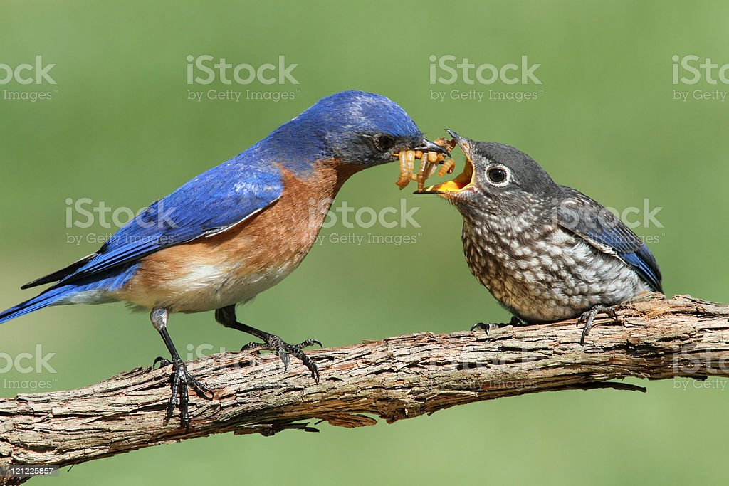 Male Eastern Bluebird With Baby royalty-free stock photo