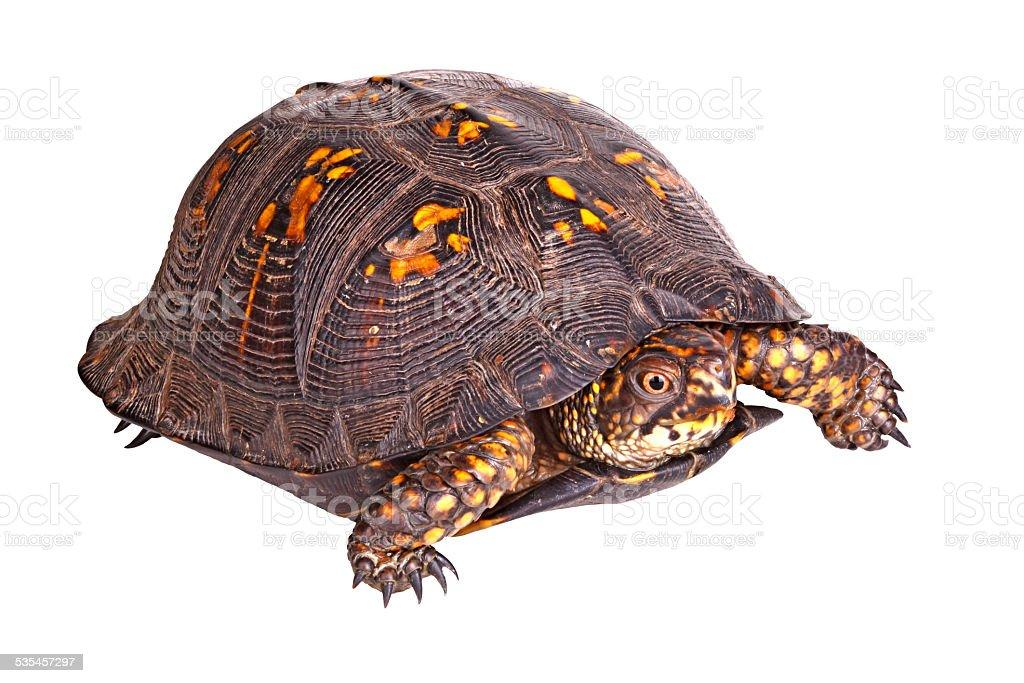 Male eastern box turtle (Terrapene carolina carolina) isolated o stock photo